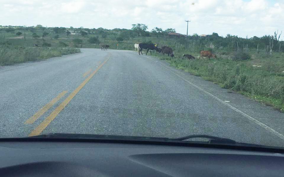 Motorista registra animais soltos na BA-414 que liga Pintadas a Ipirá